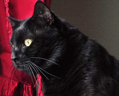 watch black cat