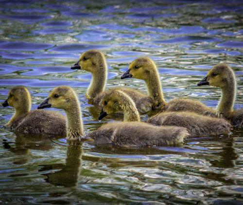 water wildlife geese