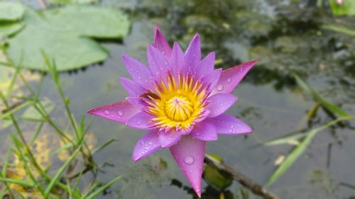 water water lily lily