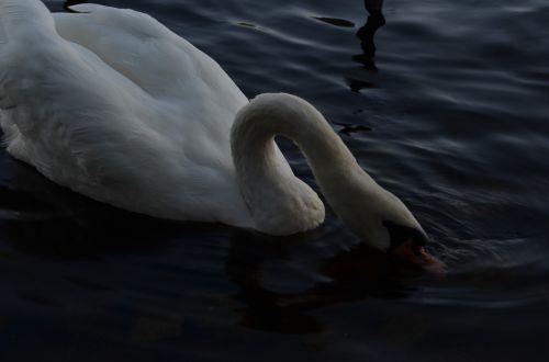 water ducks gooseneck