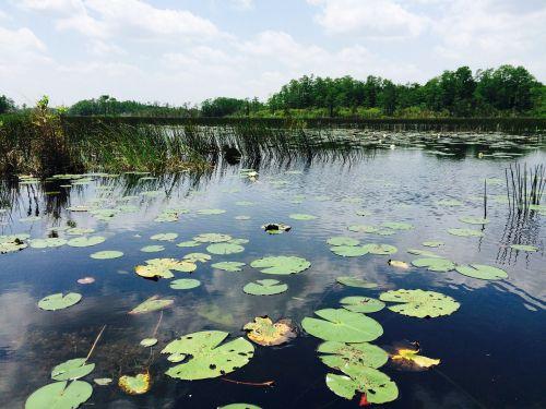 water lily pad florida