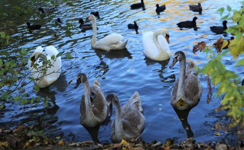 water swan nature
