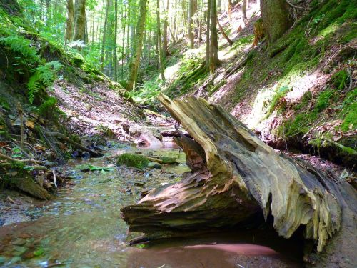 water bach root wood