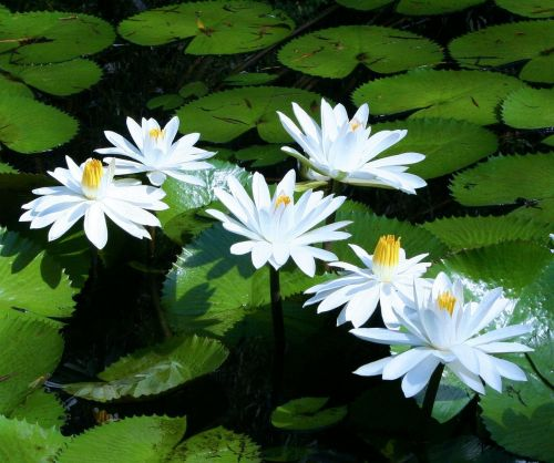 water lilies white