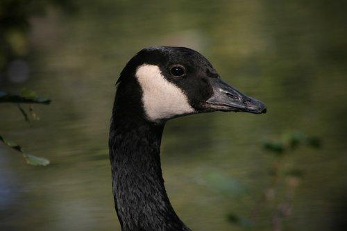 water bird  goose  canada goose