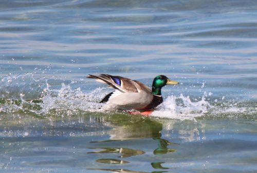 water bird mallard drake