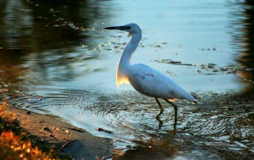 water birds coastal birds low-country birds