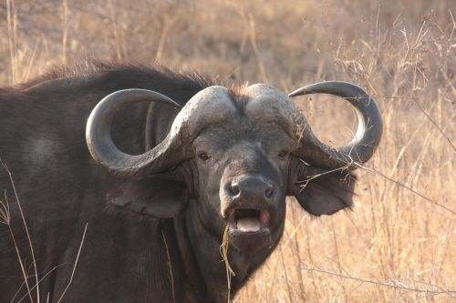 water buffalo safari the big five
