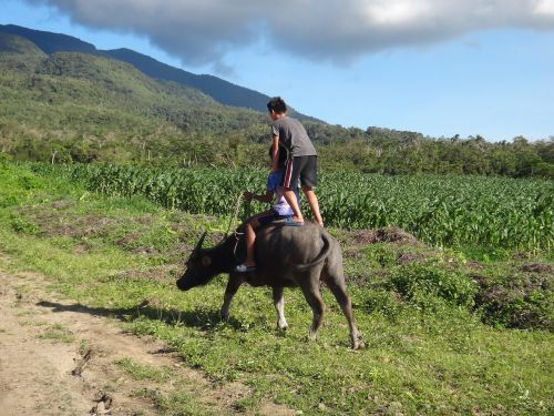 water buffalo ride agriculture
