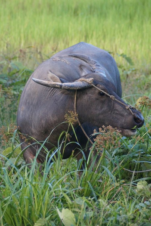 water buffalo  buffalo  animal