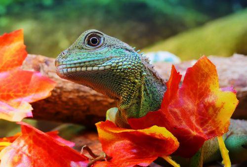 water dragon chinese physignathus