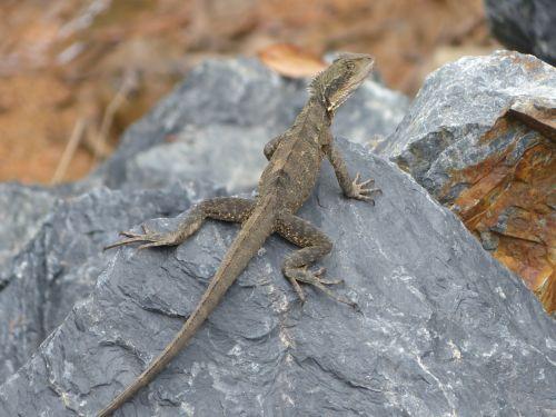 water dragon lizard reptile
