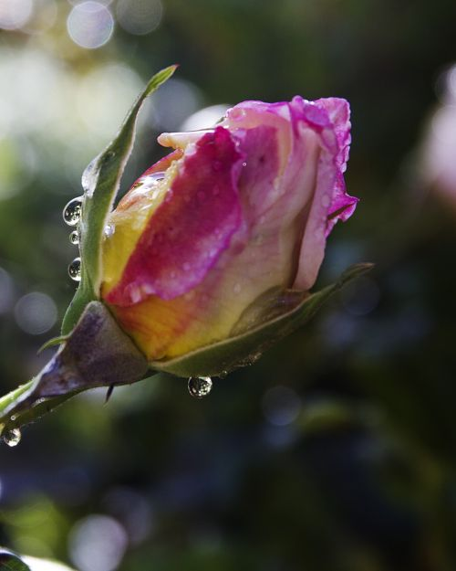 water drops rose bud pink