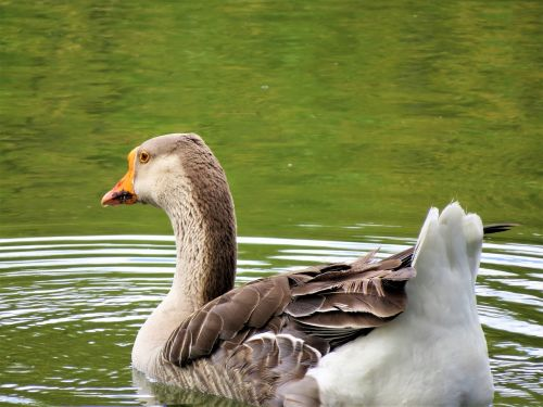 water fowl brown white