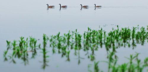 water fowl river water