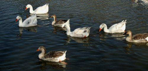 namuose & nbsp, balta & nbsp, pilka & nbsp, žąsys, maudytis, sklandymas, vanduo, apmąstymai, ryškios & nbsp, oranžinės & nbsp, krūvos, lygus, skystas, vandens paukščiai