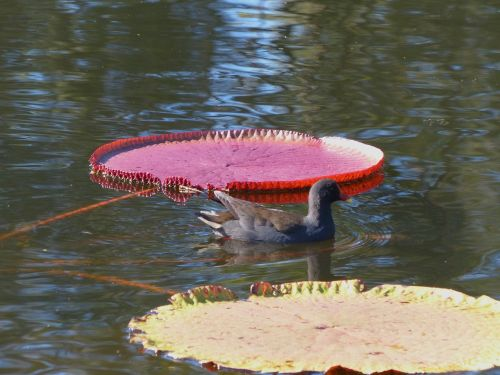 water hen water fowl water lily