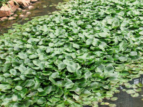 water hyacinth pond garden