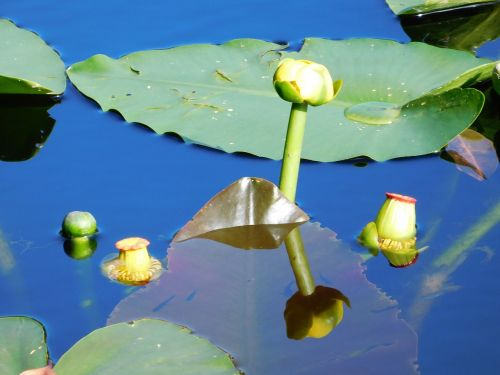 water lilies lilies flowers