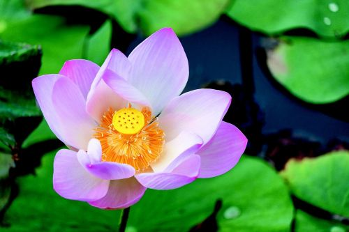water lilies pond flower
