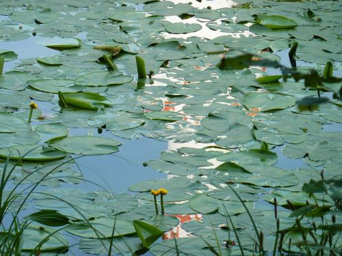 water lilies lily pond water
