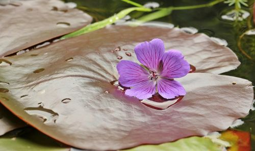 water lilies nuphar lily pad