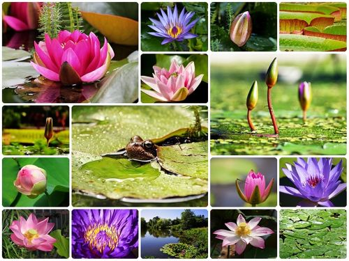 water lilies collage lily collage