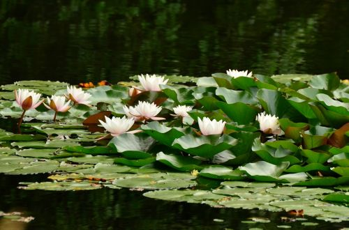 water lilies lily pond pond