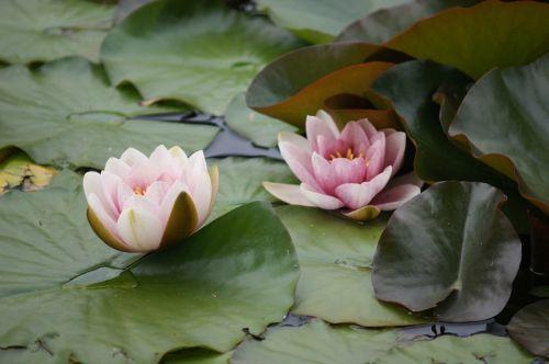 water lilies lake pond