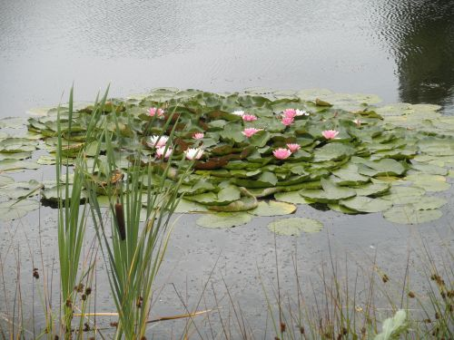 water lilies,pond,pink,flowers