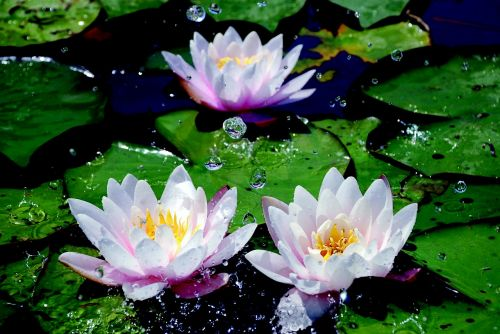 water lilies drop of water aquatic plant