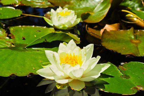 water lilies roses nuphar