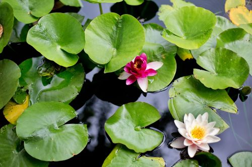 water lilies lilies lily pads