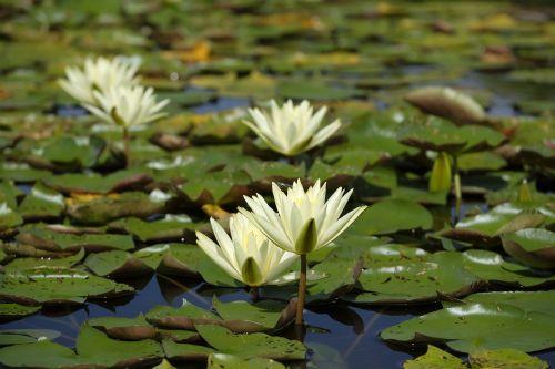 water lilies lake water