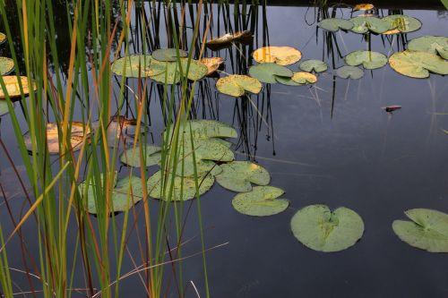 water lilies lake noufara
