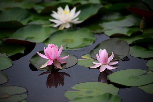 water lilies  aquatic plants  flowers