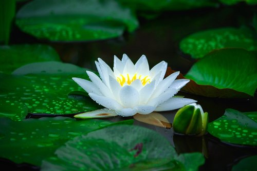 water lilies  nature  plants