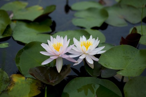 water lilies  flowers  pond