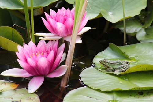 water lilies  frog  pond