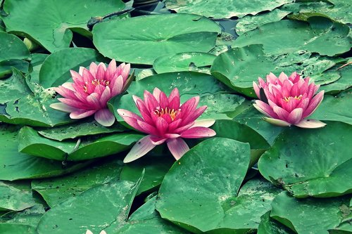 water lilies  water lily  summer