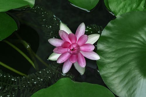 water lilies lotus aquatic plants