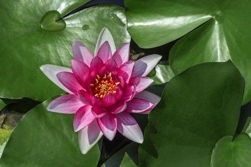water lilies lotus aquatic plants