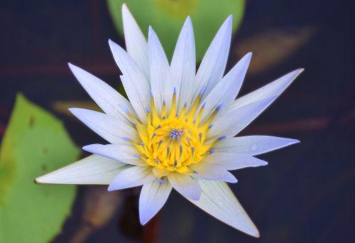 vanduo lilly,baltas vanduo lilly,vanduo lilly su geltonu,vanduo,gėlė,balta,augalas,gamta,lelija,tvenkinys,lilly,vandens lelija,botanikos,botanika