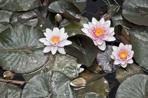 water lily pools flower