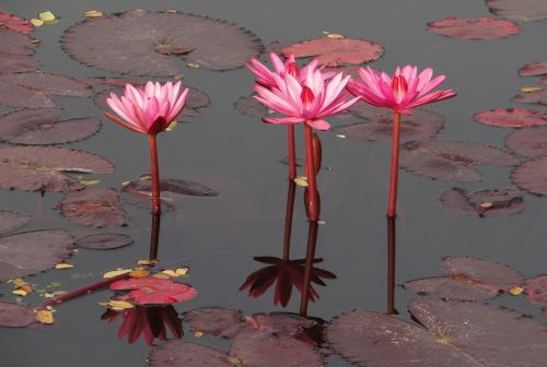 water lily flower red