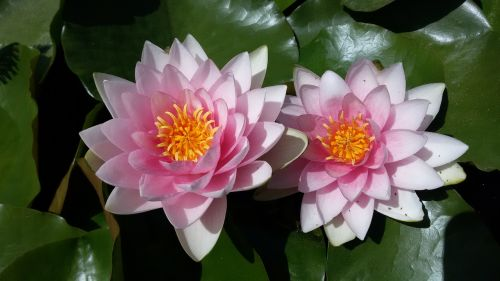 water lily aquatic plants ponds