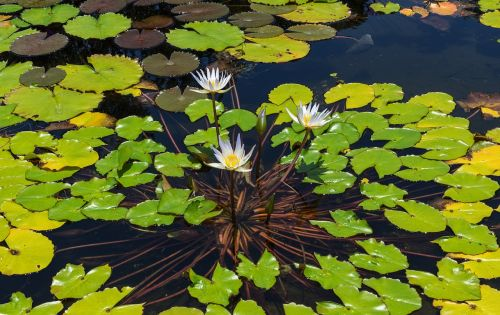 water lily aquatic plant leaves
