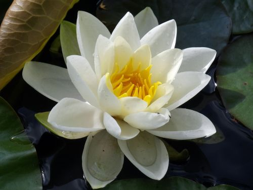 water lily plant aquatic