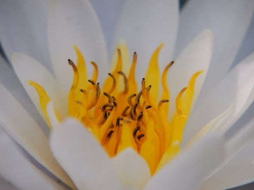 water lily white stamens