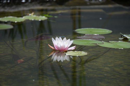 water lily mirroring garden pond